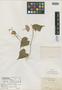 Porana triserialis C. K. Schneid., CHINA, E. H. Wilson 3220, Isotype, F
