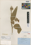 Ipomoea ommannei Rendle, SOUTH AFRICA, H. T. Ommanney s.n., Isotype, F