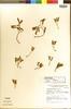 Cotyledon striata Hutchison, SOUTH AFRICA, R. J. Rodin 1405, Clonotype, F