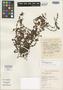 Crassula expansa subsp. peculiaris Toelken, South Africa, E. E. Esterhuysen 28832, Isotype, F