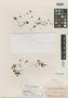 Gormania hallii Britton, U.S.A., E. M. Hall 3545, Isotype, F