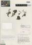 Kalanchoe fadeniorum Raadts, KENYA, R. B. Faden 77/777, Isotype, F