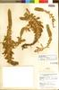 Orostachys malacophylla (Pall.) Fisch., Japan, R. V. Moran 5402, Topotype, F