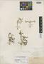 Sedum flaccidum Rose, MEXICO, E. Palmer 513, Isotype, F