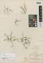 Sedum jaliscanum S. Watson, MEXICO, C. G. Pringle 2451, Isotype, F