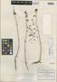 Sedum lenophylloides Rose, MEXICO, C. G. Pringle 10396, Isotype, F