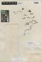 Sedum liebmannianum Hemsl., MEXICO, F. M. Liebmann 12308, Isotype, F