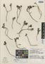 Sedum pulvinatum R. T. Clausen, MEXICO, W. H. Camp 2935, Isotype, F