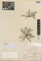 Tillaea viridis S. Watson, MEXICO, C. G. Pringle 1366, Isotype, F