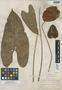 Anthurium andraeanum image
