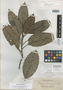 Dillenia catmon Elmer, PHILIPPINES, A. D. E. Elmer 13564, Isotype, F