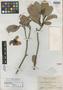 Dillenia monantha Merr., PHILIPPINES, E. D. Merrill 9237, Isotype, F