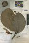 Dillenia reiffersheidia var. rosea Elmer, PHILIPPINES, A. D. E. Elmer 18025, Isotype, F