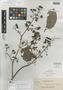Tetracera obliquinervia Elmer, PHILIPPINES, A. D. E. Elmer 13862, Isotype, F