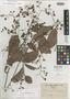 Tetracera philippinensis Merr., PHILIPPINES, C. A. Wenzel 812, Isotype, F