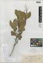 Vatica obtusifolia Elmer, Philippines, A. D. E. Elmer 12963, Isotype, F