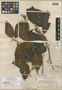 Elaeocarpus mindanaensis Merr., PHILIPPINES, M. S. Clemens 910, Isotype, F