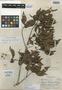 Sloanea picapica Standl., HONDURAS, C. von Hagen 1390, Holotype, F
