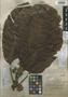 Sloanea linderi I. M. Johnst., GUYANA, A. C. Persaud 62, Holotype, F
