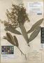 Arctostaphylos rupestris B. L. Rob. & Seaton, MEXICO, C. G. Pringle 4318, Isotype, F