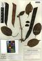 Macfadyena uncata (Andrews) Sprague & Sandwith, Ecuador, G. W. Harling 7390, F