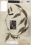 Macfadyena uncata (Andrews) Sprague & Sandwith, British Guiana, J. S. de la Cruz 4157, F