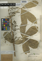 Forchhammeria trifoliata Radlk., Mexico, G. F. Gaumer 23634, F
