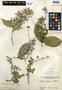 Petrea volubilis L., Belize, M. Chanek 143, F