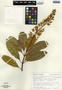 Vochysia hondurensis Sprague, Guatemala, Aguilar 9871, F