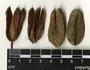 Vochysia hondurensis Sprague, Belize, N. S. Stevenson 12008, F