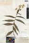 Tripogandra grandiflora (Donn. Sm.) Woodson, Guatemala, C. L. Wilson s.n., F