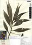 Tradescantia zanonia (L.) Sw., Ecuador, K. S. Lowell 414, F
