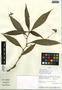 Tradescantia zanonia (L.) Sw., Peru, J. Campos 4525, F