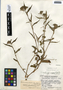 Commelina erecta L., Guatemala, J. A. Steyermark 38319, F