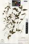 Commelina diffusa Burm. f., Guatemala, R. Tún Ortíz 408, F