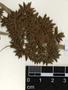 Fuirena umbellata Rottb., Brazil, M. Sobral 3596, F
