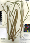Rhynchospora cephalotes (L.) Vahl, Belize, M. A. Vincent 5323, F