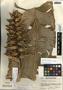 Heliconia librata Griggs, Guatemala, A. Molina R. 15843, F