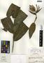 Heliconia aurantiaca Ghiesbr., Guatemala, R. Tún Ortíz 2304, F