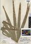 Thrinax radiata Lodd. ex Schult. & Schult. f., Honduras, A. Molina R. 20668, F