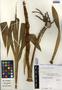 Cyrtopodium macrobulbon (La Llave) G. A. Romero & Carnevali, Mexico, J. I. Calzada 5946, F