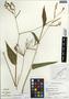 Maranta arundinacea L., Belize, C. Whitefoord 2517, F