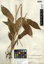 Maranta arundinacea L., Guatemala, M. Aguilar Hidalgo 111, F