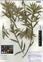 Podocarpus guatemalensis Standl., Guatemala, H. Förther 10147, F