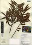 Podocarpus guatemalensis Standl., Panama, C. Galdames 1664, F