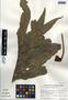 Phlebodium decumanum (Willd.) J. Sm., Mexico, J. Dorantes 5240, F
