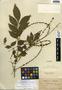 Picramnia antidesma Sw., Mexico, E. Kerber 138, F