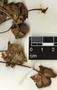 Bomarea edulis (Tussac) Herb., Guatemala, P. C. Standley 61792, F