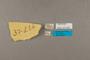 127033 Taeniopoda gutturosa labels IN