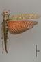 127039 Tropidacris cristata cristata d IN